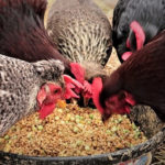 What are the benefits of feeding chicken with rice bran?