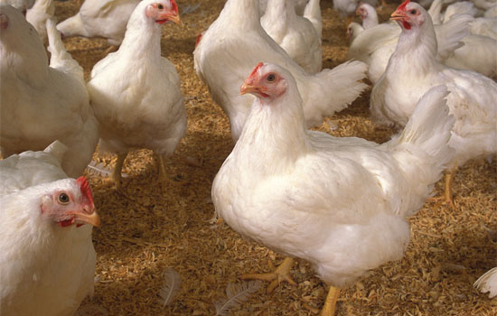 chicken battery broiler cages