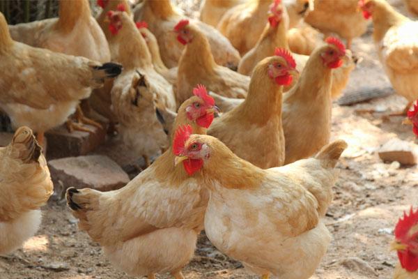fet chicken in livi machinery